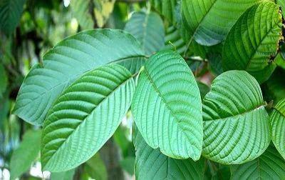 kratom-plants