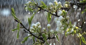monsoon-Tree