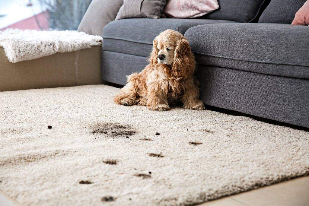 Professional Carpet Cleaning for Pet Stain and Odour Removal - Ryan Carpet Cleaning